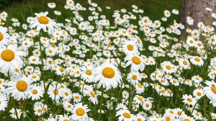 Schönes Feld mit Gänseblümchen. Verschwommene abstrakte Sommerwiese mit leuchtenden Blüten auf einem Bauernhof.