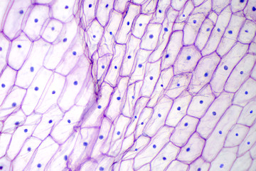 Onion epidermis under light microscope. Purple colored, large epidermal cells of an onion, Allium cepa, in a single layer. Each cell with wall, membrane, cytoplasm, nucleus and large vacuole. Photo.