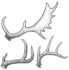 Antlers illustration, drawing, engraving, ink, line art, vector