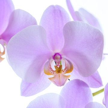 Pinke Phalaenopsis Orchidee isoliert - Makro