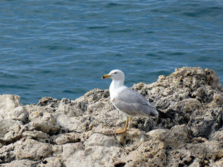 Curious sea gull watching the open sea on St. Andrew island, Croatia