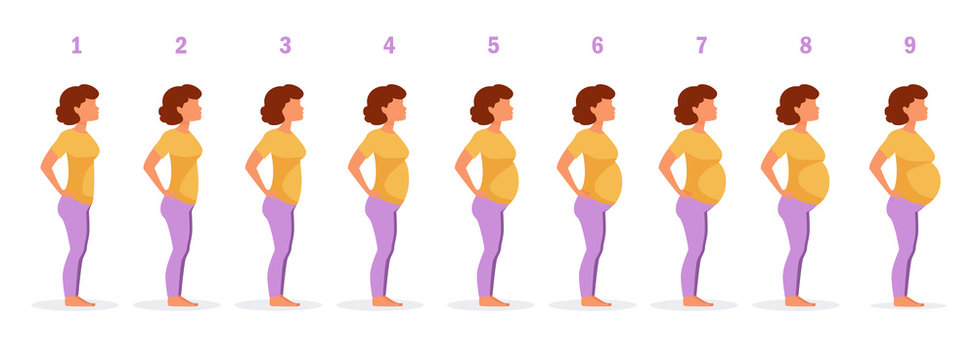 Stage of pregnancy Vector.