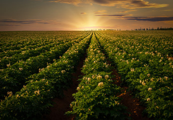 Tuinposter Platteland Sunset over a potato field in rural Prince Edward Island, Canada.