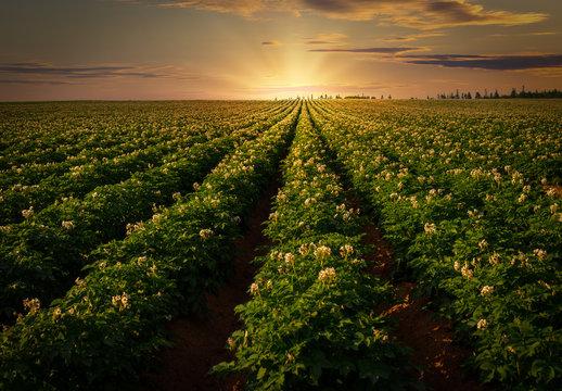 Sunset over a potato field in rural Prince Edward Island, Canada.