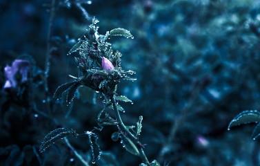 wild pink rose with rain drops