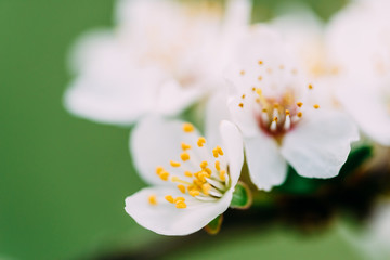White Plum Tree Flowers In Spring