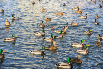 Many ducks are on the water in sunlight.