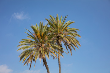 Two palm trees under Cyprus blue sky with few clouds.