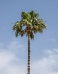 Palm tree under Cyprus blue sky with few clouds.