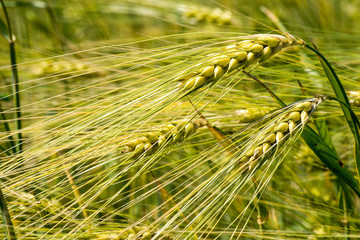 Close up of fresh morning green wheat in spring