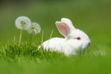 Wall Mural - Baby white rabbit in grass