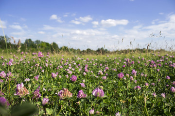 Flowering clover in clear weather, background. Many pink flowers in the field, blue sky with clouds