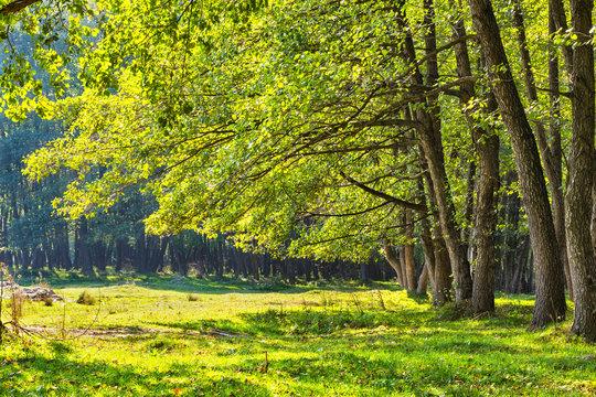 Alder forest in Romania