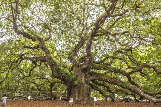 Angel oak (Quercus virginiana)
