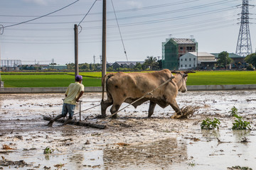 An oxen is plowing a muddy rice field in Taiwan. A man guide the oxen and walks behind the plow. A green rice field and industrial buidlings are in the background. Power poles are in front of blue sky