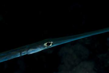 Peixe Trombeta