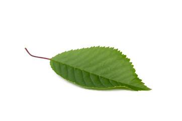 Kirschbaum Blatt