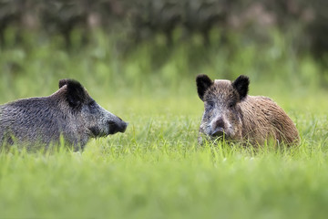 Wild boars in a clearing, in the wild