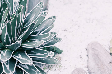 Desert plant in garden in pale shades. Close up photography.