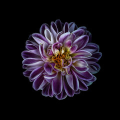 Dahlia against plain background, purple and white