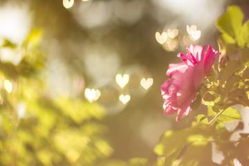 Flower rose in summer sunset