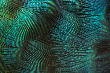 Details of beautiful peacock feathers. Green peafowl