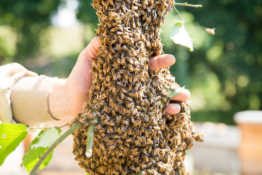 Swarm of bees with beekeeper's hand - honeybees in large number on tree branch