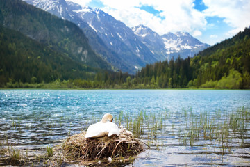 Swan nest in mountain lake. Mother bird and babies