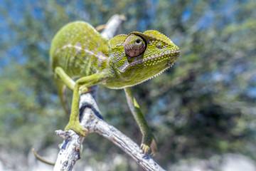 Green chameleon - Chamaeleo calyptratus ,Madagascar