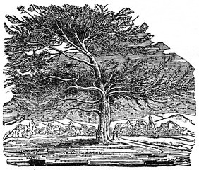 Cedar in the Palace Garden at Enfield, Middlesex (from Das Heller-Magazin, February 1, 1834)