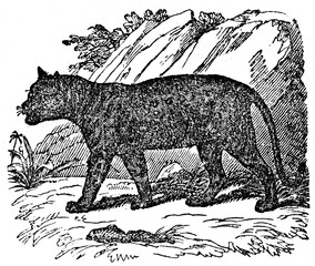 Black panther (from Das Heller-Magazin, January 25, 1834)