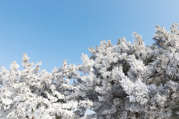 snow covered trees and blue sky