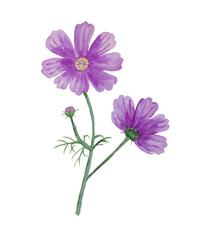 Watercolor cosmos flower with bud.