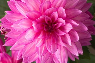 Blooming pink Dahlia flower closeup.