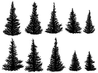 Silhouettes of spruce trees (fir, fir-tree).