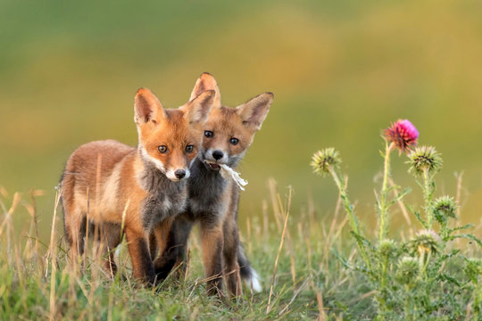 Two Little Red Fox near his hole