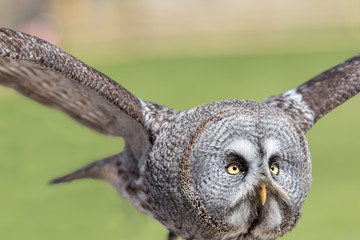 Great grey owl. Close up of the bird of prey with the largest facial disc, in flight