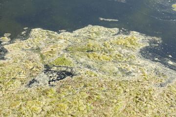 Grünlich-gelbe  Algen