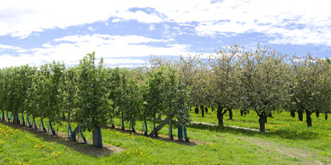 Plants: Blooming apple orchard in Eastern Thuringia in April