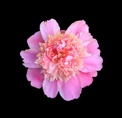 blooming flower pink peony close-up, top view isolated on black background