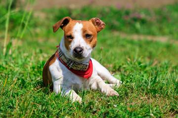 Jack russel terrier on green grass