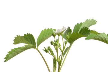 isolated strawberry plant with flowers