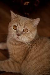 Home orange cat with orange eyes. Closeup