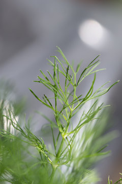Close-up of a dill plant