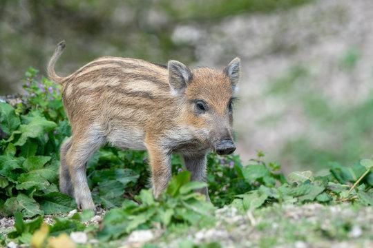 Wild Boar piglet, Austrian Alps, Grunau im Almtal, Gmunden, Austria