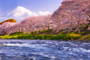 Cherry blossom trees along a river with Mount Fuji in the background, Japan