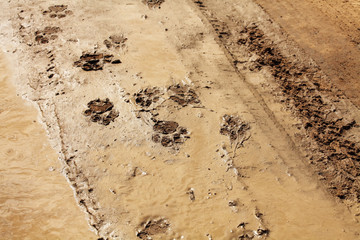 Lion track in the wet desert.