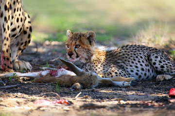 Mother and cub (Acynonix jubatus) at prey. Cheetahs feed on the hunted springbock.
