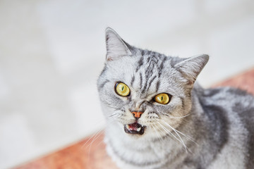British short hair cat with open mouth sits on the floor and looks at camera. Copy space, top view