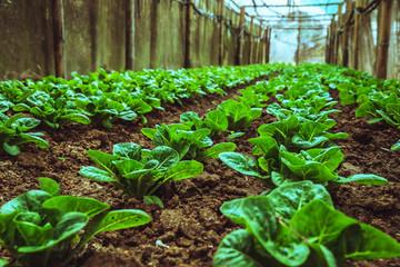 Organic vegetable salad baby green cos lettuce growing house. organic vegetable